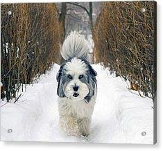 Doing The Dog Walk Acrylic Print by Keith Armstrong
