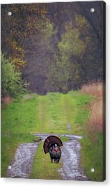 Doing The Turkey Strut Acrylic Print