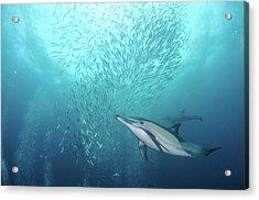 Dolphin Acrylic Print by Alexander Safonov
