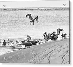 Dolphin And Pelican Party Acrylic Print