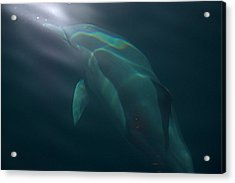 Acrylic Print featuring the photograph Dolphin Dreaming by Odille Esmonde-Morgan