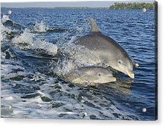 Dolphin Family Acrylic Print by Tara Moorman Photography