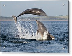 Dolphins Having Fun Acrylic Print