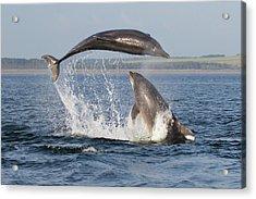 Dolphins Having Fun Acrylic Print