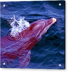 Dolphin In The Gulf Acrylic Print by Bill Perry