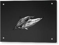 Dolphin Pair Acrylic Print by Sean Davey