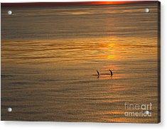 Dolphin Sunset Acrylic Print
