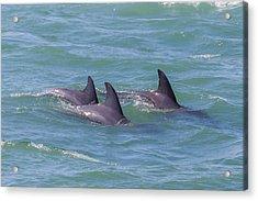 Dolphin Trio Acrylic Print