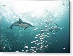 Dolphins Acrylic Print by Alexander Safonov
