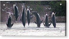 Dolphins Jump Acrylic Print