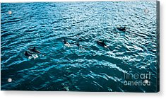 Dolphins Off Of The Na Pali Coast Acrylic Print