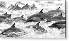 Dolphins On The Run Acrylic Print by Steve Munch