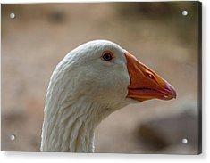 Domestic Goose Acrylic Print