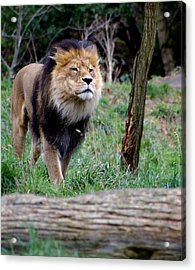 Dominance Acrylic Print by Sonja Anderson