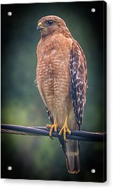 Acrylic Print featuring the photograph Dominique The Hawk by Michael Sussman