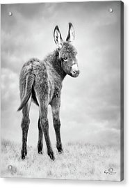 Donkey Days Acrylic Print