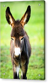 Acrylic Print featuring the photograph Donkey Ears by Shelby Young