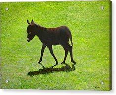 Donkey Foal Acrylic Print by Eamon Doyle