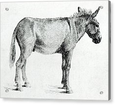 Donkey Acrylic Print by George Stubbs