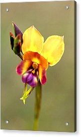 Donkey Orchid Acrylic Print