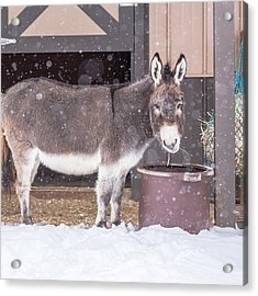 Donkey Watching It Snow Acrylic Print
