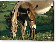 Donkey With Foal Acrylic Print by Thomas R Fletcher