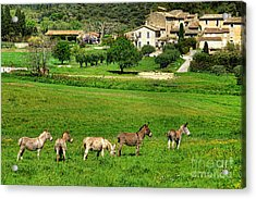 Donkeys In Provence Acrylic Print by Olivier Le Queinec