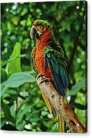 Acrylic Print featuring the photograph Don't Ruffle My Feathers by Marie Hicks