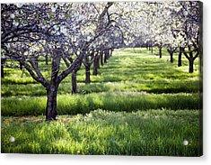 Door County Cherry Blossoms Acrylic Print