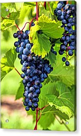 Door County Grape Cluster Acrylic Print