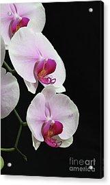 Doritaenopsis Mount Lip Fangtastic Orchid Acrylic Print