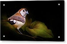 Double Barred Finch Artwork 8948 Acrylic Print