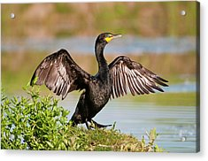 Acrylic Print featuring the photograph Double-crested Cormorant by Gary Lengyel