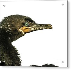 Acrylic Print featuring the photograph Double-crested Cormorant  by Robert Frederick