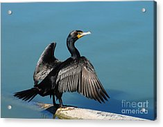 Double-crested Cormorant Spreading Wings Acrylic Print by Merrimon Crawford