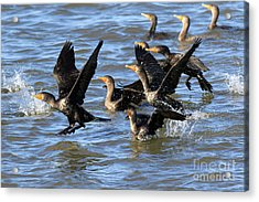 Double Crested Cormorants Acrylic Print by Louise Heusinkveld
