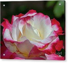 Double Delight Rose 1 Acrylic Print