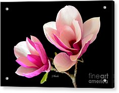 Double Magnolia Blooms Acrylic Print by Jeannie Rhode