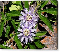 Double Passionflora Acrylic Print by Connie Diane Richards