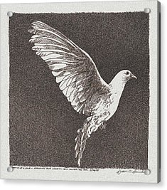 Dove Drawing Acrylic Print by William Beauchamp