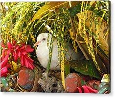 Dove In Jamaica Acrylic Print