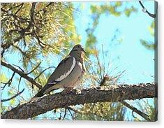 Dove In Pine Tree Acrylic Print