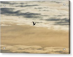 Dove In The Clouds Acrylic Print