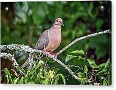 Dove On A Branch Acrylic Print