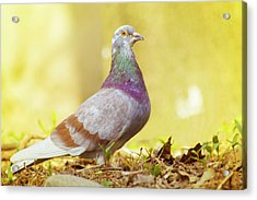 Dove  Standing Close Up Acrylic Print