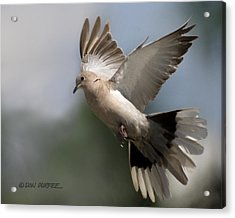 Dove Takeoff Acrylic Print