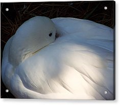 Down For A Nap Acrylic Print by Karen Wiles