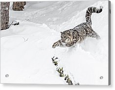 Downhill Racer D0942 Acrylic Print by Wes and Dotty Weber
