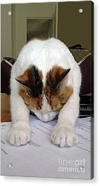 Acrylic Print featuring the photograph Downward Facing Cat  by Bill Thomson
