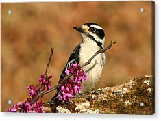 Downy Woodpecker In Spring Acrylic Print